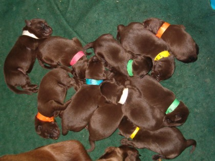Choco Pups